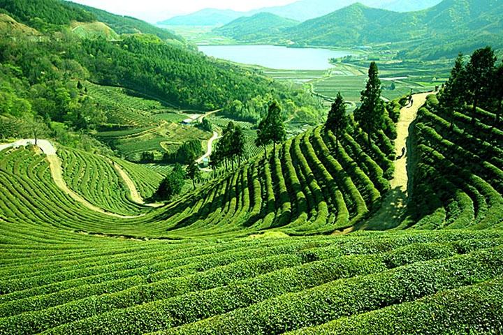Darjeeling_tea_hills