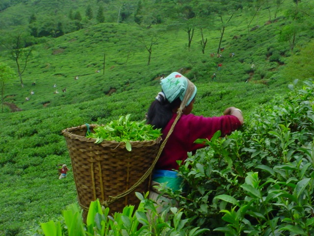 Tea-picker at Jungpana Tea Estate Darjeeling India